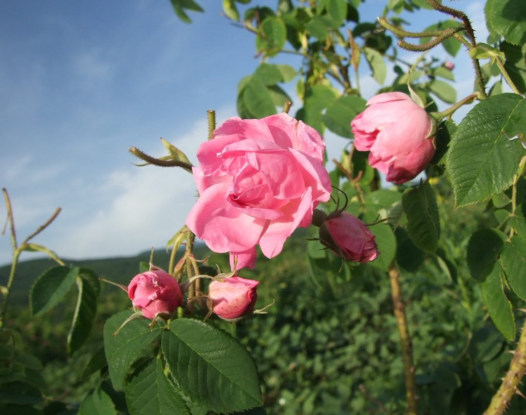 RosaDamascena_RozinoVillage