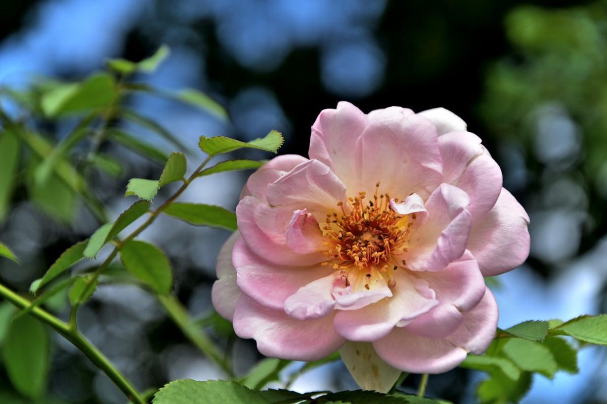 rose-2638174 1280